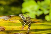 Basilisk [Basiliscus basiliscus] juvenile sunning on palm frond; Hacienda Baru aviary, Costa Rica