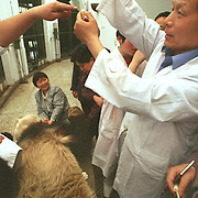 Veterinarian Ye Zhiyong (R) at the Chengdu panda breeding center inspects the sperm collected from panda Kebi. After about 30 minutes of electric stimulation, the anaesthecised  5-1/2 year-old panda ejaculated about 3 ml of semen. About half of that would be used to inseminate female panda Eryatou, and the rest would be frozen for future inseminations and for DNA tests...Copyright Justin Jin