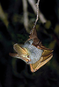 Yellow-winged Bat, Lavia frons, from central Kenya.