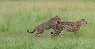 Cheetah cub playfully jumps on mother's back as she walks through grassland, Sequence 3. Phinda Game Reserve, South Africa, © 2019 David A. Ponton