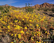 Golden Evening Primrose wildflowers in Death Valley National Park in California