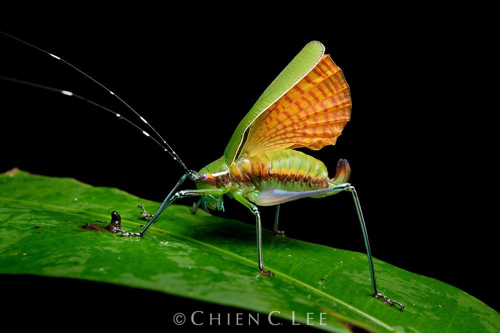 Katydid (Scambophyllum albomarginatum), female raising wings in a defensive display.
