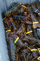 Freshly-caught lobsters (Homarus americanus) banded and piled in a fishing crate, Southwest Harbor, Maine.