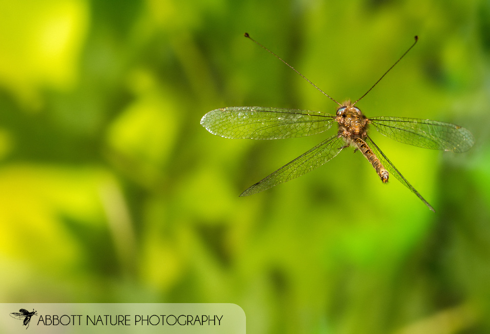 Owlfly (Ululodes floridanus) male flying<br /> United States: Alabama: Tuscaloosa Co.<br /> Tulip Tree Springs off Echola Rd.; Elrod<br /> 26-Jul-2016<br /> J.C. Abbott #2855