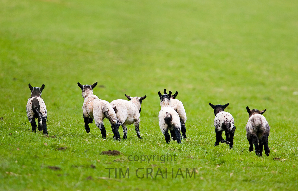 Lambs in the Cotswolds, United Kingdom, UK. RESERVED USE - NOT FOR DOWNLOAD -  FOR USE CONTACT TIM GRAHAM
