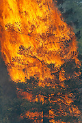 """A tree erupts into flame in the Waldo Canyon fire west of Colorado Springs, Colorado June 26, 2012.  A fast-growing wildfire in Colorado forced 11,000 people from their homes at least briefly and threatened popular summer camping grounds beneath Pikes Peak, whose vistas helped inspire the patriotic tune """"America the Beautiful.""""    REUTERS/Rick Wilking (UNITED STATES)"""