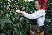 Vietnamese woman harvesting coffee beans Muong Ang ,  SON LA-DIEN BIEN PROVINCE , Northern Vietnam