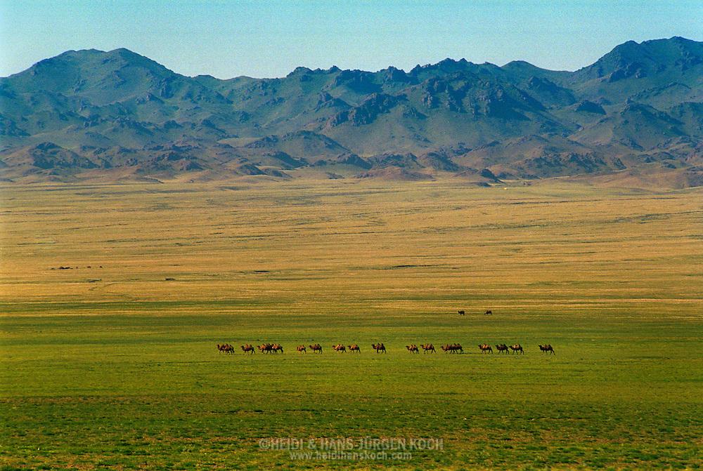 Mongolei, MNG, 2003: Kamel (Camelus bactrianus). Eine Kamel-Karawane zieht durch die Weite der mongolischen Steppe in der südlichen Gobi. Im Hintergrund Gobi-Altai. | Mongolia, MNG, 2003: Camel, Camelus bactrianus, camel caravan walking through the wide mongolian steppe, Gobi-Altai in the back, South Gobi. |