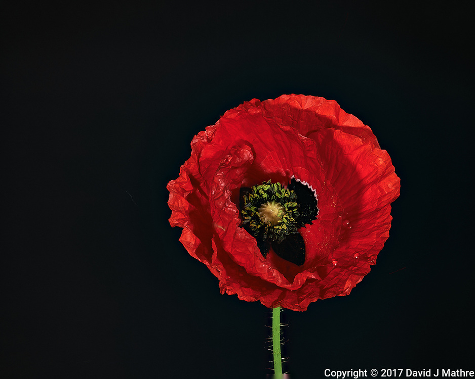 Red Poppy Flower. Backyard spring nature in New Jersey. Focus stacked composite of 29 mages taken with a Nikon Df camera and 105 mm f/2.8 VR macro lens and SB-910 flash (ISO, 105 mm, f/4, 1/60 sec). Images processed with Capture One and Helicon Focus (pyramid)