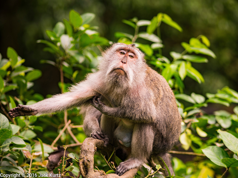 17 JULY 2016 - UBUD, BALI, INDONESIA: A long tailed macaque monkey in the Monkey Forest in Ubud, Bali. The Monkey Forest is a sacred place to Balinese Hindus. There are several Hindu temples in the forest.      PHOTO BY JACK KURTZ