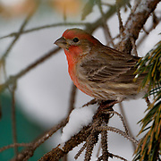 A House Finch rests in a spruce tree before flying down to forage for food.