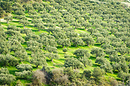 The hills and fields on the Greek island of Crete are covered in Olive Trees as far as the eye can see. . Commissioned by PR Media Co.