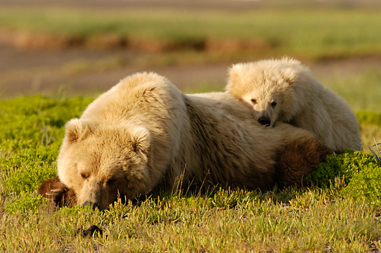 Alaskan Brown Bear, (Ursus middendorffi) Mother and cub resting, cubs head on mothers back. Katmai National Park. Alaska.