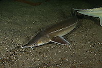 The sterlet (Acipenser ruthenus) at Danube Delta Eco-Tourism Museum Center, aquarium in Tulcea, Danube Delta, Romania (captive). It is a mall species of sturgeon native to large rivers that flow into the Black Sea, Azov Sea and Caspian Sea, as well as rivers in Siberia. Populations migrating between fresh- and saltwater (anadromous) suffering due to overfishing (for its flesh, caviar and isinglass), pollution and dams. The sterlet has declined throughout its native range and is considered vulnerable by the IUCN. There are ongoing re-stocking projects and it has been introduced to some regions outside its native range, but the latter have generally not become self-sustaining.