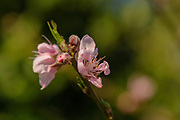 pink Peach blossoms on Peach tree in a orchard in Israel in February