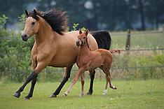 Morgan Horses 2008