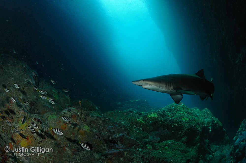 Grey nurse shark (Carcharias taurus) in deep rocky gutter, photographed off Broughton Island, New South Wales, Australia, Pacific Ocean.