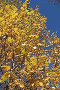 Norwegian forest and different trees. Vanlig bjørk (Betula pubescens), er årsak til mye plager med pollen om våren.