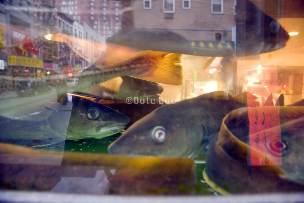 fish in a Chinatown NYC restaurant aquarium