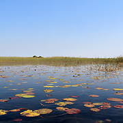 "Okavango Delta water lillys and ""Cyperus papyrus"" plant landscape. North of Botswana."