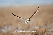 01113-01314 Short-eared Owl (Asio flammeus) in flight at Prairie Ridge State Natural Area, Marion Co., IL