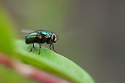 Green bottle fly (Lucilia sp.) perched on the leaf of a Pyracantha. Differentiation between Lucilia sericata and L. cuprina requires microscopic examination of the main distinguishing features.