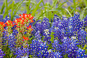Indian paintbrush, with Texas bluebonnets, Wildflowers, in Washington County, Texas, spring.