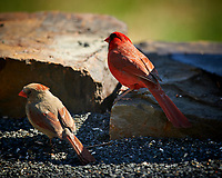 Northern Cardinal Pair. (Courtship Behavior???). Image taken with a Nikon D4 camera and 600 mm f/4 VR lens (ISO 180, 600 mm, f/4, 1/400 sec)