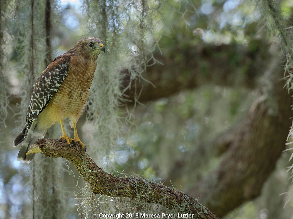 Red-Shouldered hawk, Buteo lineatus, perched in Live Oak Tree, Florida, wild,