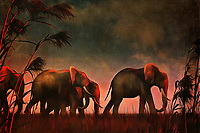 We don't know as much about the charming elephants in this piece as we might want to, but we do know enough. We know they are a family. We know they are dedicated to one another. Elephant families are some of the most extraordinary families in the world. This is a wonderful scene of family, bonds, and nature. The elephants walk slowly, and they walk with clear purpose. Rather than blow them along, the wind that moves the tall grass and trees seems to be moving with them, as if after asking permission. This image is available in several print forms, or as an interior home décor product.