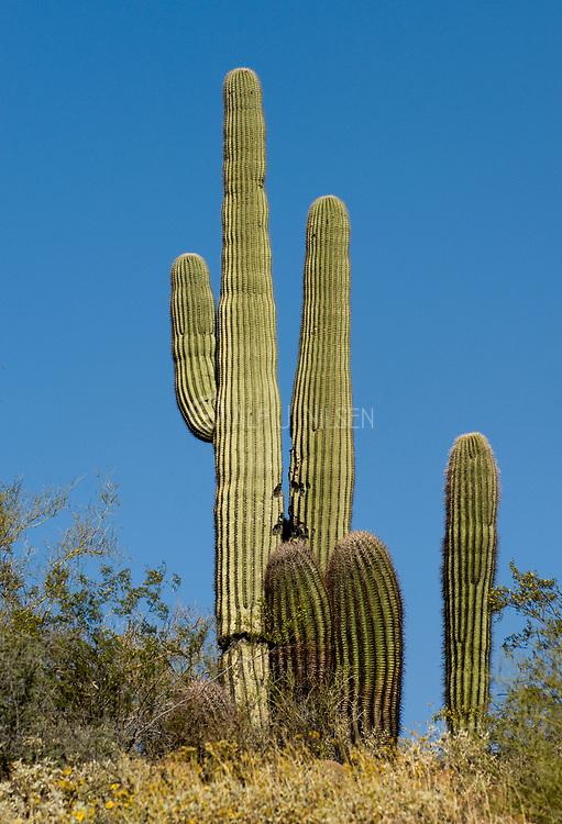 Saguaro cacti (Carnegiea gigantea) from Sonora Desert, Arizona, USA