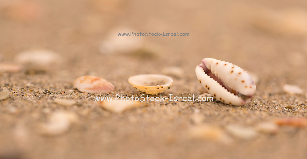 mouth shaped seashell of a Lamellaria sea slug on the beach Photographed on the Mediterranean sea, Israel