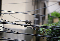 Rio de Janeiro - Brazil April 12, 2020, with few people on the streets, afraid of the covid 19, the monkeys take the opportunity to stroll around the city