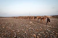 Camel caravan leaving at dawn to the salt lakes . Danakil Depression, Ethiopia.
