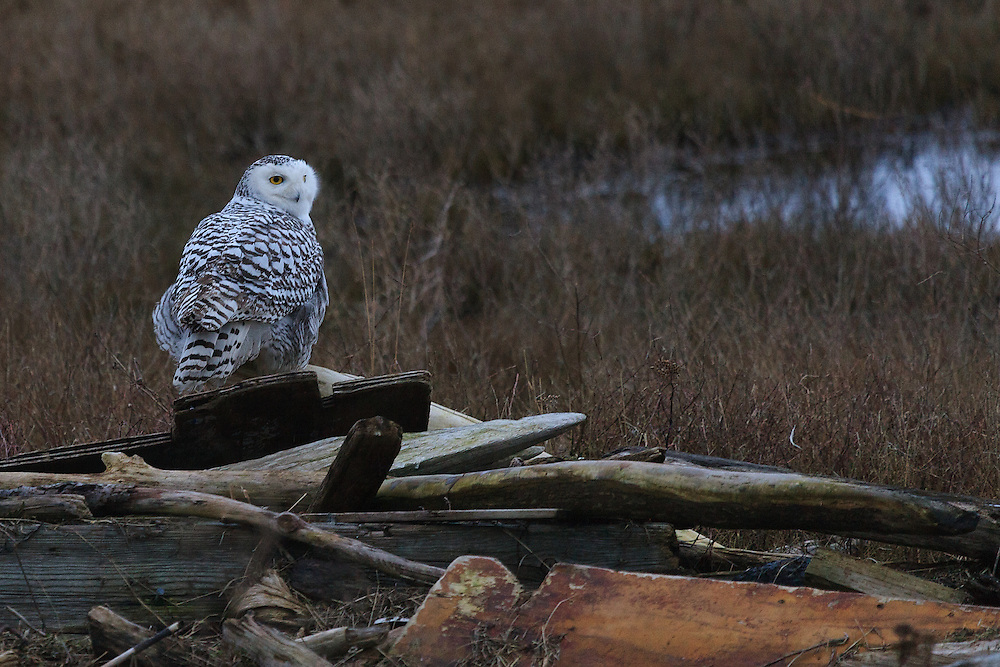 Snowy Owl, Boundary Bay, British Columbia