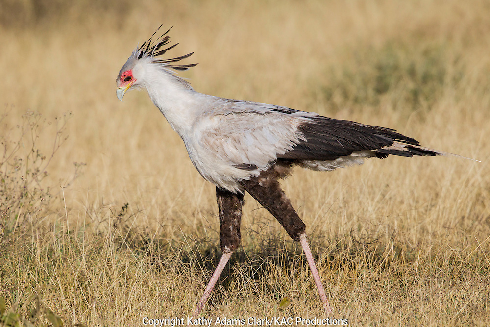 Secretary Bird, Sagittarius serpentarius, near Ndutu, in the Ngorongoro Conservation Area, Tanzania, Africa.
