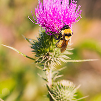 Bumblebee warming on a thistle flower. Dolly Sods Wilderness, West Virginia