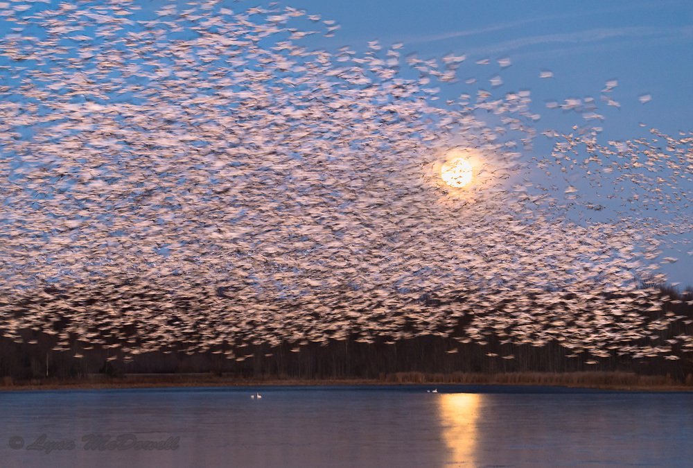 As the blue moon eclipse started just before sunrise, thousands of Snow Geese took off becoming a beautiful blur of motion.  Bombay Hook NWR
