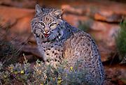 350301-1053B ~ Copyright: George H. H. Huey ~ Bobcat kitten  [Felis rufus].  High desert, Colorado Plateau.  Near Zion National Park, Southern Utah.