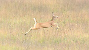 The female white tailed deer is such a graceful runner, almost appearing to be in flight.
