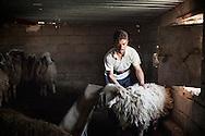 28/04/15. Awbar Village, Darbandikhan area, Iraq. -- Saif prepares one sheep for clipping.