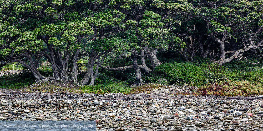 Little Barrier Island. Stoney foreshore and Pohutukawa trees behind