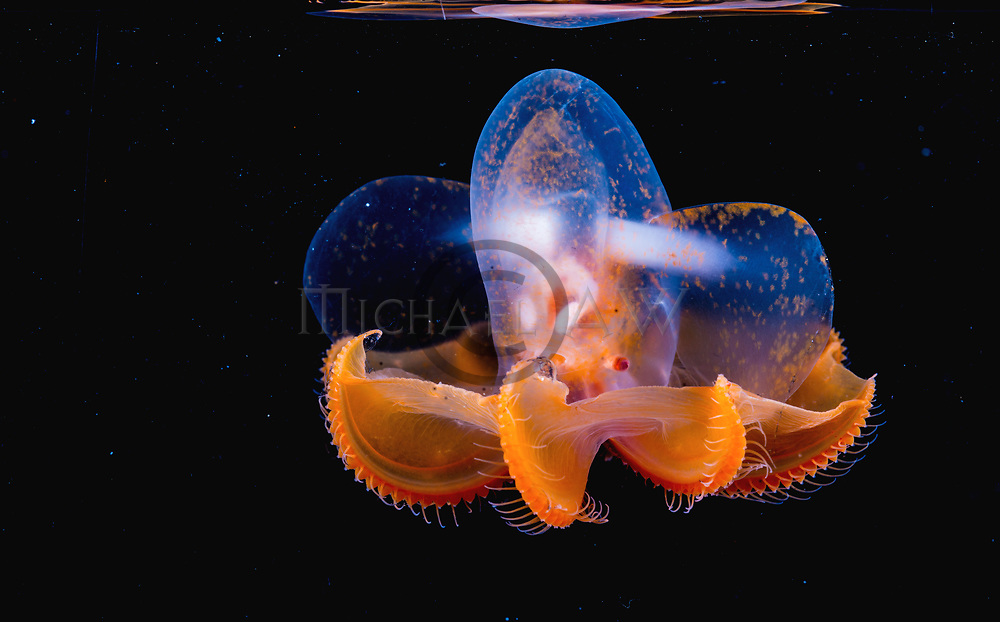 Grimpoteuthis sp Dumbo octopus new species, Arctic;