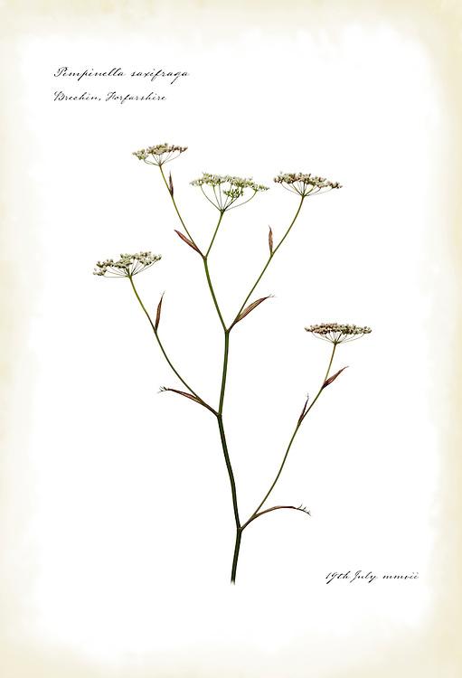 Burnet saxifrage in flower