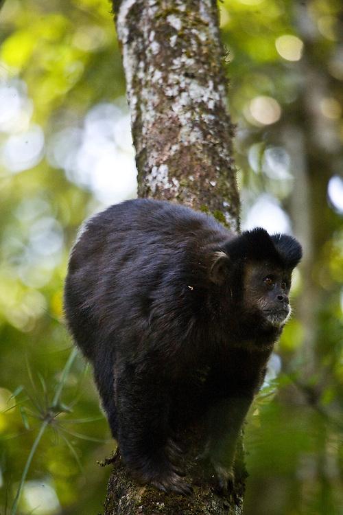 Pocos de Caldas_MG, Brasil...Detalhe de um Macaco-Prego (Cebus apella) em uma arvore em uma Reserva Particular do Patrimonio Natural...The Capuchin monkey (Cebus apella) in a tree at Private Reserve of Natural Heritage...Foto: JOAO MARCOS ROSA /  NITRO