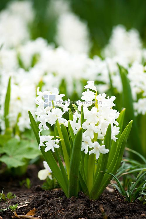 Parennial Walkway spring blooms