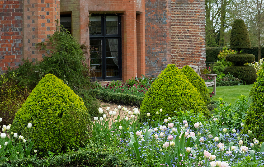 Tulipa 'Angelique' underplanted with Myosotis and Tulipa 'Polychroma' surrounded by box topiary at Chenies Manor Gardens, Rickmansworth, Buckinghamshire, UK, April