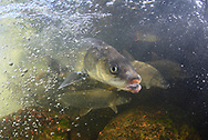 Inconnu (Sheefish) with Lake Whitefish<br /> <br /> Paul Vecsei/Engbretson Underwater Photography