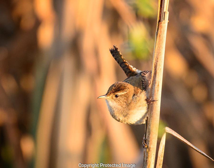 The Marsh Wren flew from one cattail to another singing loudly to annouce his territory to others.  He paused for a few seconds while hanging from the side of a cattail stalk and allowed me to create the shot.