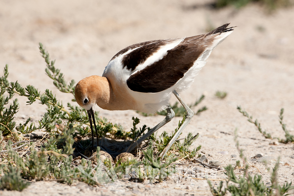 July 2014 American Avocets are nesting at Bear River Migratory Bird Refuge in northern Utah this is a refuge along the Great Salt Lake.
